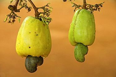Cashew (Anacardium occidentale) unripe fruits with nuts on the buttom, Kabalebo Resort, Surinam  -  Gerrit van Ommering/ Buiten-beel