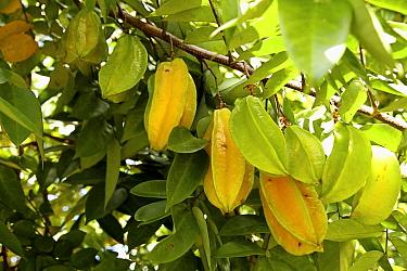 Carambola (Averrhoa carambola) ripe and unripe fruits, Tamanredjo, Surinam  -  Gerrit van Ommering/ Buiten-beel