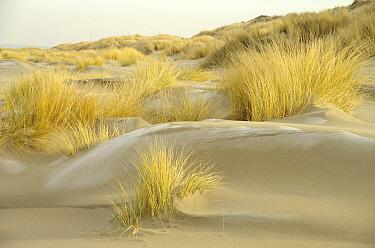 European Beachgrass (Ammophila arenaria) planted as a windbreak, Oostkapelle, Netherlands  -  Hannie Joziasse/ Buiten-beeld