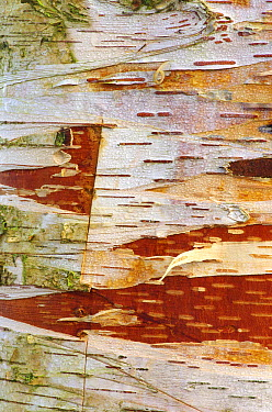 European White Birch (Betula pendula) bark, Middelburg, Netherlands  -  Hannie Joziasse/ Buiten-beeld