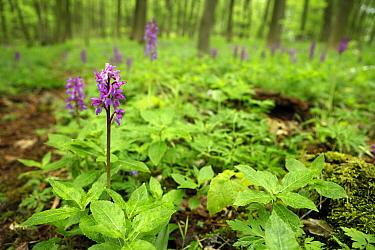 Early Purple Orchid (Orchis mascula) in forest, Kelmis, Belgium  -  Bob Luijks/ Buiten-beeld