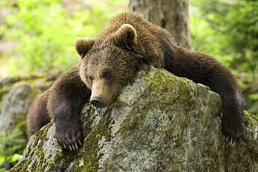 Brown Bear (Ursus arctos) lying on rock, Bavarian Forest, Germany  -  John van den Heuvel/ Buiten-beel