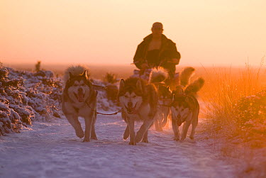 Domestic Dog (Canis familiaris) group pulling sled through snow, Haarle, Netherlands  -  Ernst Kremers/ Buiten-beeld