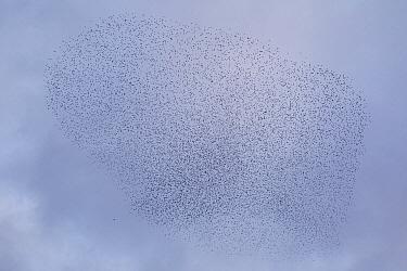 Common Starling (Sturnus vulgaris) flock being chased by a Peregrine Falcon (Falco peregrinus)  -  Luc Hoogenstein/ Buiten-beeld