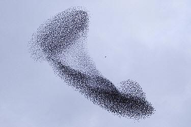 Common Starling (Sturnus vulgaris) flock being chased by a Peregrine Falcon (Falco peregrinus), Utrecht, Netherlands  -  Luc Hoogenstein/ Buiten-beeld