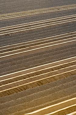 Potato (Solanum tuberosum) fields, Goudswaard, Netherlands  -  Nico van Kappel/ Buiten-beeld