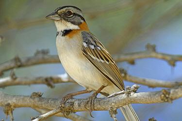 Rufous-collared Sparrow (Zonotrichia capensis), Curacao, Dutch Antilles  -  Wil Meinderts/ Buiten-beeld