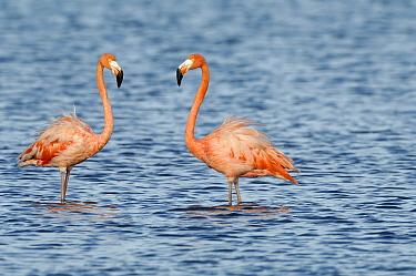 Greater Flamingo (Phoenicopterus ruber) pair, Curacao, Dutch Antilles  -  Wil Meinderts/ Buiten-beeld