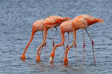 Greater Flamingo (Phoenicopterus ruber) group feeding, Curacao, Dutch Antilles  -  Wil Meinderts/ Buiten-beeld
