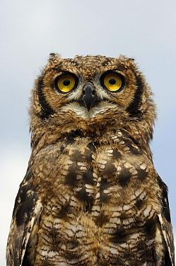 Spotted Eagle-Owl (Bubo africanus) juvenile, Netherlands  -  Wil Meinderts/ Buiten-beeld