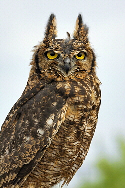 Spotted Eagle-Owl (Bubo africanus), Netherlands  -  Wil Meinderts/ Buiten-beeld