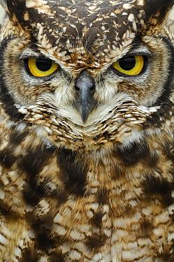 Spotted Eagle-Owl (Bubo africanus) portrait, Netherlands  -  Wil Meinderts/ Buiten-beeld