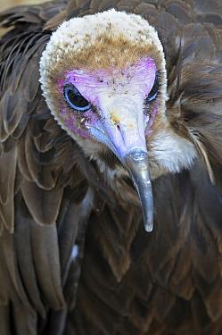 Hooded Vulture (Necrosyrtes monachus), Netherlands  -  Wil Meinderts/ Buiten-beeld