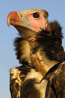 White-headed Vulture (Trigonoceps occipitalis), Netherlands  -  Wil Meinderts/ Buiten-beeld