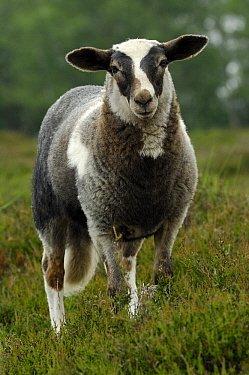 Domestic Sheep (Ovis aries) with pied coat pattern, Drentsche Aa, Netherlands  -  Wil Meinderts/ Buiten-beeld