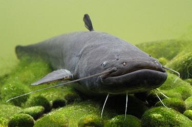 Wels (Silurus glanis) catfish, Wieringermeer, Netherlands  -  Wil Meinderts/ Buiten-beeld