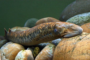 Lamprey (Petromyzon marinus) attached to rock with sucker mouth, Wieringermeer, Netherlands  -  Wil Meinderts/ Buiten-beeld