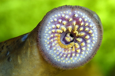 Lamprey (Petromyzon marinus) mouth showing teetch, Wieringermeer, Netherlands  -  Wil Meinderts/ Buiten-beeld