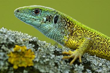 European Green Lizard (Lacerta viridis), Hungary  -  Wil Meinderts/ Buiten-beeld