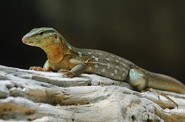 Laurent's Whiptail (Cnemidophorus murinus) lizard, Curacao, Dutch Antilles  -  Wil Meinderts/ Buiten-beeld