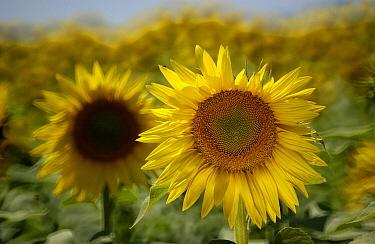 Common Sunflower (Helianthus annuus) blooming field, Hungary  -  Wil Meinderts/ Buiten-beeld
