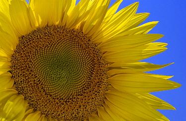 Common Sunflower (Helianthus annuus) blooming, Hungary  -  Wil Meinderts/ Buiten-beeld