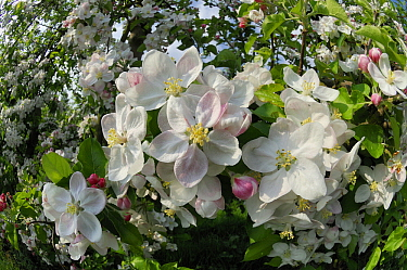 Cultivated Apple (Malus domestica) in full bloom, West Maas en Waal, Netherlands  -  Wil Meinderts/ Buiten-beeld