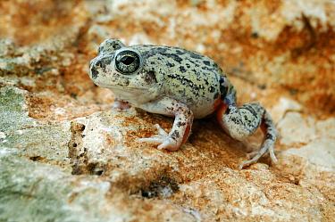 Colombian Four-eyed Frog (Pleurodema brachyops), Dutch Antilles  -  Wil Meinderts/ Buiten-beeld