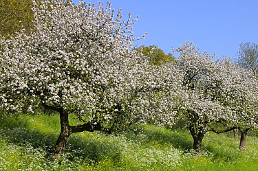 Cultivated Apple (Malus domestica) in full bloom, Lingewaal, Netherlands  -  Wil Meinderts/ Buiten-beeld