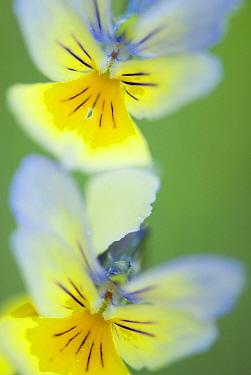 Mountain Pansy (Viola lutea), Plombieres, Belgium  -  Nico van Kappel/ Buiten-beeld