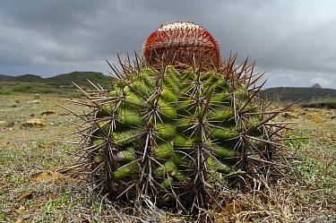 Turk's Cap Cactus (Melocactus intortus), Curacao, Dutch Antilles  -  Wil Meinderts/ Buiten-beeld