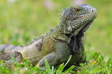 Green Iguana (Iguana iguana), Curacao, Dutch Antilles  -  Wil Meinderts/ Buiten-beeld