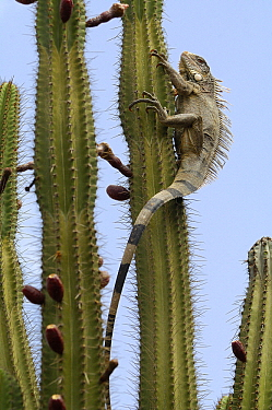 Green Iguana (Iguana iguana) climbing in a cactus, Curacao, Dutch Antilles  -  Wil Meinderts/ Buiten-beeld