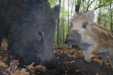 Wild Boar (Sus scrofa) female foraging with piglets in woodland, Veluwe, Netherlands  -  Ruben Smit/ Buiten-beeld