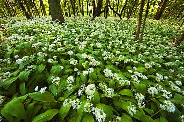 Wild Garlic (Allium ursinum) in forest, Oostvoorne, Netherlands  -  Nico van Kappel/ Buiten-beeld