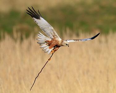 Western Marsh-Harrier (Circus aeruginosus) male with nesting material, Netherlands  -  Marcel Langelaan/ Buiten-beeld