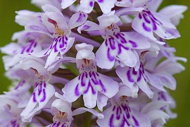 Common Spotted Orchid (Dactylorhiza fuchsii) flowers, Rolde, Netherlands  -  Klaas van Haeringen/ Buiten-beel