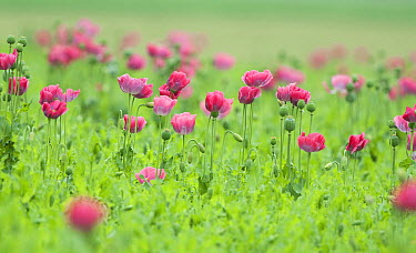 Opium Poppy (Papaver somniferum) field, Netherlands  -  Ronald Messemaker/ Buiten-beeld