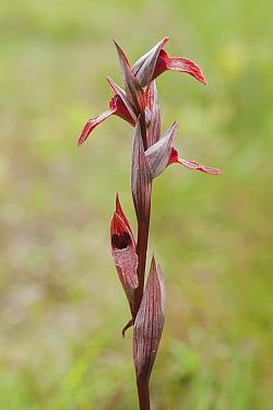 Tongue Orchid (Serapias vomeracea), Emmen, Netherlands  -  Ron Poot/ Buiten-beeld
