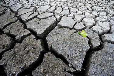 Cracked clay in a seasonal marsh wtih sprout, Tiengemeten Island, Tiengemeten Island, Netherlands  -  Nico van Kappel/ Buiten-beeld