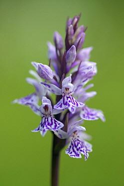 Heath Spotted Orchid (Dactylorhiza maculata), Oostvoorne, Netherlands  -  Peter van Rij/ Buiten-beeld