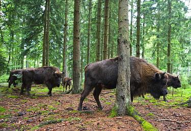 European Bison (Bison bonasus) herd moving through mountain forest, Neuschonau, Germany  -  Nico van Kappel/ Buiten-beeld
