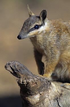 Numbat (Myrmecobius fasciatus), Australia  -  Wil Meinderts/ Buiten-beeld