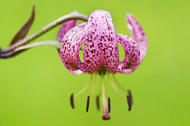 Martagon Lily (Lilium martagon), Hohe Tauern National Park, Austria  -  Misja Smits/ Buiten-beeld