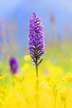 Common Spotted Orchid (Dactylorhiza fuchsii) in alpine meadow, Hohe Tauern National Park, Austria  -  Misja Smits/ Buiten-beeld