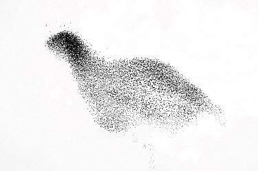 Common Starling (Sturnus vulgaris) flock flying, Hoograven, Netherlands  -  Misja Smits/ Buiten-beeld