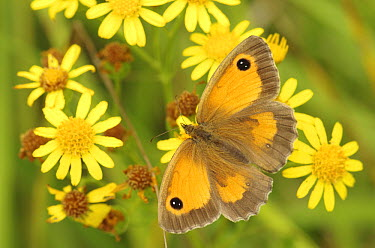 Gatekeeper (Pyronia tithonus) butterfly, Kamperland, Netherlands  -  Hannie Joziasse/ Buiten-beeld