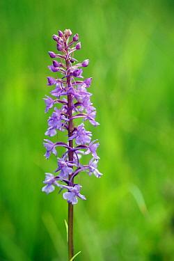 Fragrant Orchid (Gymnadenia conopsea) flowering, France  -  Michel Geven/ Buiten-beeld