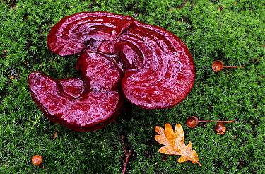 Reishi Mushroom (Ganoderma lucidum), Netherlands  -  Wil Meinderts/ Buiten-beeld