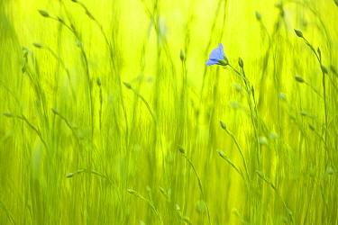 Common Flax (Linum usitatissimum), Nisse, Netherlands  -  Nico van Kappel/ Buiten-beeld